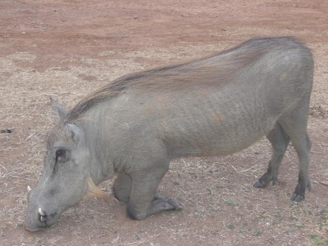 schweinmole